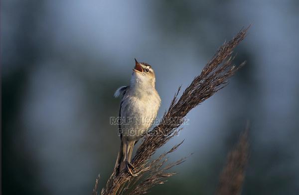 Sedge Warbler, Acrocephalus schoenobaenus, male singing on Common Reed (Phragmites australis), Illmitz, Lake of Neusiedl, Austria, Europe