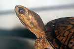 Wood turtle walking left close-up head and shoulders.