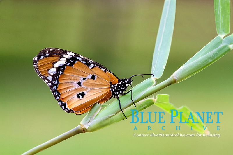 African Monarch (Danaus chrysippus), adult, underside, resting on grass, Chobe National Park, Botswana, Africa