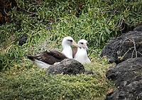 Although these Laysen Albatross migrate thousands of miles each year, they make their home in these nesting grounds on Kaena Point. 90% of Laysan Albatross are found in Hawaii.