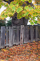 Big leaf maple tree and fence in Jacksonville, Oregon