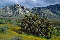 Joshua tree<br />