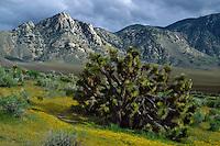 Joshua tree<br /> South Fork Kern River Valley<br /> Sierra Nevada<br /> California