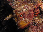 Kenting, Taiwan -- Scorpionfish seemingly growing out of a rock.<br /> <br /> If not for the scorpionfish's eyes, it would be all but invisible.