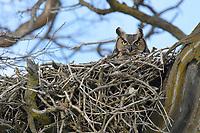 Adult female Great Horned Owl (Bubo virginianus) on its nest. Washington, USA. February.