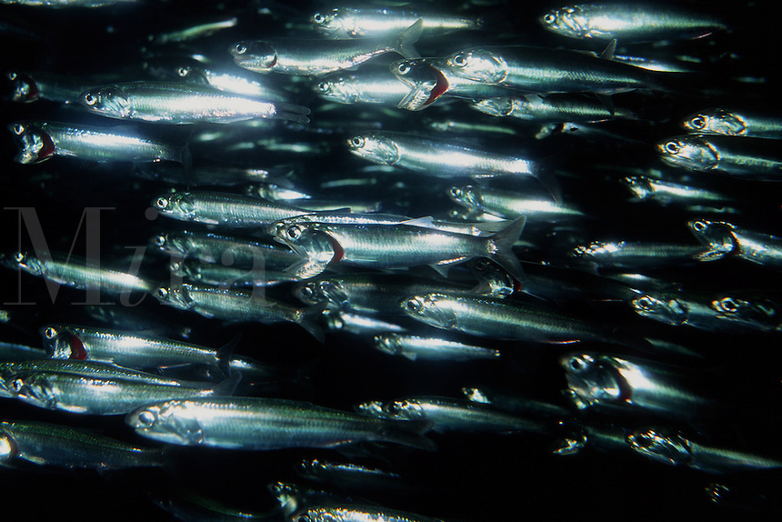 Northern anchovy, Engraulis mordax, form large polarized schools that swim in from open water to the near shore kelp beds . They feed on zooplankton, California, Pacific Ocean