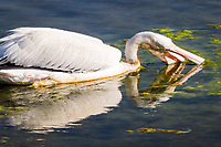 Foraging for food, an American white pelican dips its bill and fills its pouch to filter out food it will then swallow at the San Lorenzo Park, know as The Duck Pond.
