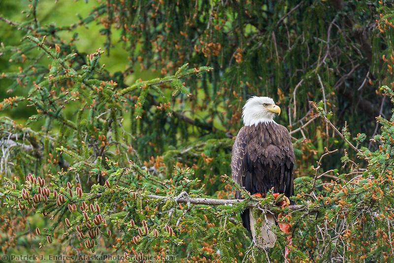 Bald Eagle perched in a tree, Cordova, Alaska