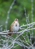 Song Sparrow, Melospiza melodia, in the Riparian Preserve at Water Ranch, Gilbert, Arizona