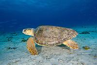Female Loggerhead sea turtle, Caretta caretta, Bahamas, Caribbean, Atlantic