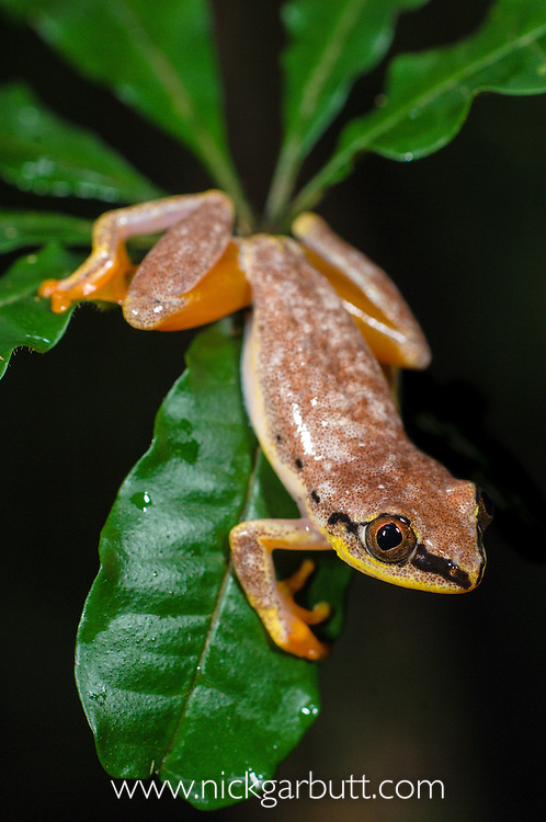 Madagascar Reed Frog (Heterixalus madagascariensis). Masoala National Park, Madagascar.