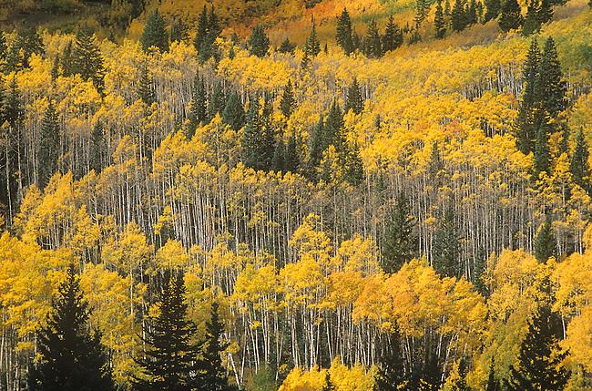 Autumn, Castle Creek Valley, Aspen Trees, Colorado