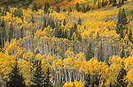 Autumn, Castle Creek Valley, Aspen Trees, Colorado