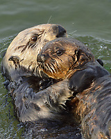 Southern Sea Otter mom with young pup .  Central California.