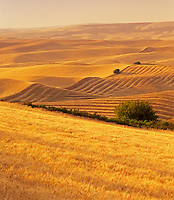 Rolling wheat fields and harvested land. Near Colfax, Oregon
