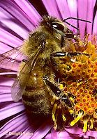 1B04-031z   Honeybee pollinating aster - Apis mellifera