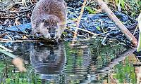2017-11-05_Urban Wildlife_Beaver