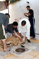 Tripoli, Libya - Eid al-Adha, Id al-Adha.  Preparing to Sacrifice Sheep for the annual feast when Muslims commemorate God's mercy in allowing Abraham to sacrifice a ram instead of his son, to prove his faith.