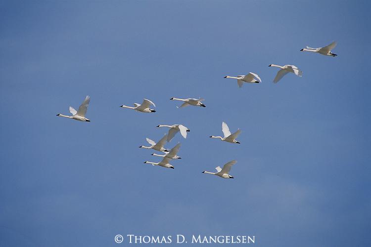 Trumpeter swans fly over the sandhills of Nebraska.