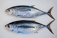 juvenile yellowfin tunas are called, shibi in Hawaii and Japan, consisting of two differenct species of tunas - yellowfin tuna, Thunnus albacares (above), and bigeye tuna, Thunnus obesus (bottom), note the diffences that bigeye tuna has larger eyes, longer pectoral fins and more robust body, Kona, Big Island, Hawaii, USA, Pacific Ocean
