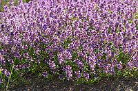 Feld-Thymian, Thymian, Wilder Thymian, Feldthymian, Quendel, Breitblättriger Thymian, Arznei-Thymian, Gemeiner Thymian, Gewöhnlicher Thymian, Quendel-Thymian, Arzneithymian, Thymus pulegioides, Thymus pulegioides ssp. pulegioides, Sammelart Thymus pulegioides, Thyme, Wild Thyme, broad-leaved thyme, lemon thyme, Le thym faux pouliot, le thym à larges feuilles, le thym de bergère