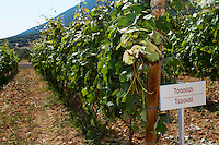 Vines. Tsaousi vine variety. Biblia Chora Winery, Kokkinohori, Kavala, Macedonia, Greece