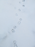"""Otter Tracks in the Snow""<br />