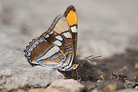 California sister, Adelpha bredowii, adult drinking water, Uvalde County, Hill Country, Texas, USA