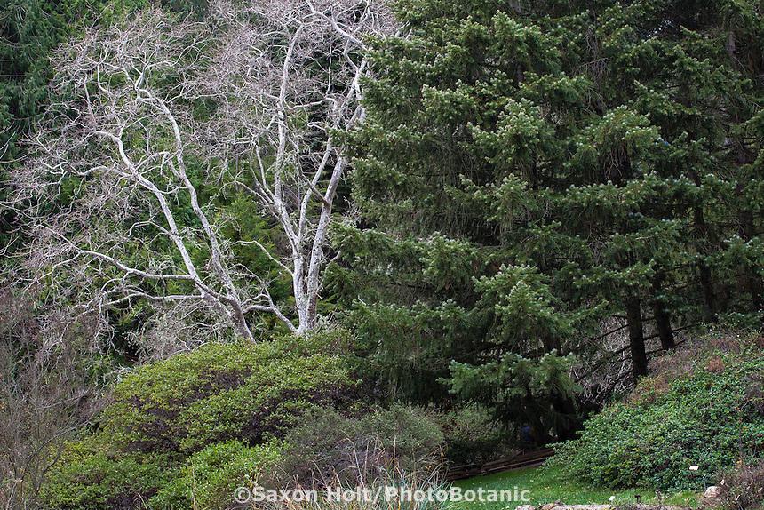 California native trees in Regional Parks Botanic Garden: deciduous California sycamore (Platanus racemosa) conifer -bristlecone fir or Santa Lucia fir (Abies bracteata)