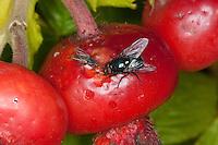 Zwei Fliegen fressen an einer Hagebutte, die kleinere, rechte Fliege: Blumenfliege, Blumenfliegen, Anthomyiidae, Root-Maggot Flies. Die gößere, rechte Fliege: Männchen, Eudasyphora cyanicolor, Metallic Muscid Fly