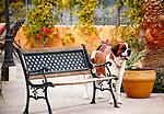 SAINT BERNARD DOG at DOG SHOW