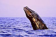 humpback whale, Megaptera novaeangliae, newborn calf breaching under golden light at sunset, Hawaii, USA, Pacific Ocean
