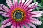 Gazinia Flower