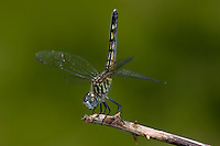 Blue Dasher (Pachydiplax longipennis)  Dragonfly - Female obelisking while perching on a twig, West Harrison, Westchester County, New York