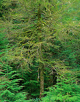 Pacific yew tree (Taxus brevifolia), Pacific N.W.