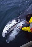 touching a gray whale calf