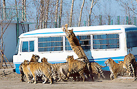 China. Province of Heilongjiang. Harbin. Siberia Tiger Park. A tiger jumps in the air to grab with its paws some raw chicken meat during the food distribution.© 2004 Didier Ruef