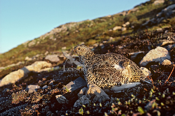 White-tailed Ptarmigan (Lagopus leucurus) hen with young chick.  Northern Rockies, Summer.