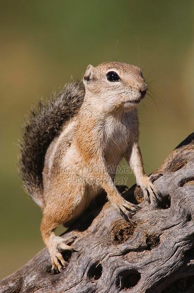Harris's Antelope Squirrel,  Ammospermophilus harrisii, adult on branch,Tucson, Arizona, USA