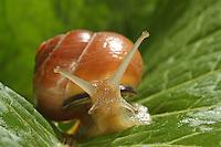 Hain-Bänderschnecke, Hain-Schnirkelschnecke, Schwarzmündige Bänderschnecke, Schnirkelschnecken, Cepaea nemoralis, Grove snail, Brown-lipped snail