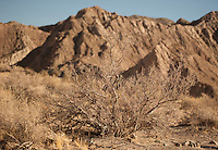 Creosote bush in Anza Borrego Desert.