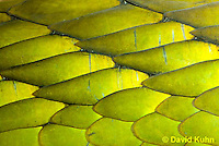 0423-1127  Western Green Mamba (West African Green Mamba), Detail of Scales, Dendroaspis viridis  © David Kuhn/Dwight Kuhn Photography
