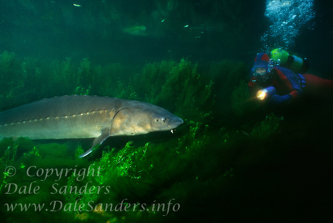 White Sturgeon (Acipenser transmontanus) and snorkeler swim in a large pond in British Columbia, Canada.