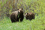 Grizzly No. 399 and cub forage for food in Grand Teton National Park