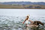 Brown Pelican (Pelecanus occidentalis), in breeding plumage, taking flight, Elkhorn Slough, Monterey Bay, California