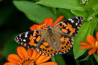 Painted Lady Butterfly (Vanessa cardui) in flower garden.  Oregon.  July.