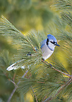 Blue Jay perched in a white pine tree in northern Wisconsin.