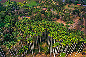 Moindou, palmiers de la Ryawa