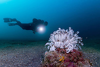 Crinoid in the sand with diver and dive-light