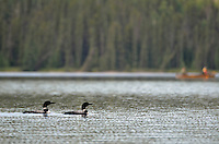 These loons of Greg Lake, Alberta, provided an enchanting visual and auditory (as only loons can) display, including a rendition of the male's mating dance.